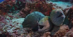 A close up shot of two Honeycomb,Blackspotted, Moray Eel ,  Gymnothorax favagineus  and a Giant Moray Eel, Gymnothorax javanicus sharing the same spot. Gaping,snapping  at the camera