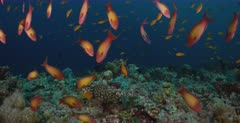 A stunning shot of a large school of Peach Anthias fish, Pseudanthias dispar swimming down infront of the camera