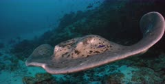A close up shot of a female Giant Reef Ray,Marbled Stingray,Blotched Fantail, Taeniura meyeni at a cleaning station that passes infront of the camera. Note the ray coming right up to the camera.