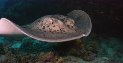 A close up shot of a female Giant Reef Ray,Marbled Stingray,Blotched Fantail, Taeniura meyeni at a cleaning station that passes infront of the camera. Note the ray goes under the camera