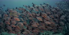 A wide to close up shot of a large school of Humpback Snapper fish,Paddletail Snapper, Lutjanus gibbus with a few Papuan Snapper ,Lutjanus papuensis hiding in the school.