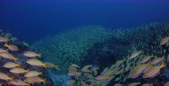 A wide shot of a huge school of Bengal Snapper fish, Lutjanus bengalensis with three Bluefin Trevally, Caranx melampygus and a Whitetip Reefshark, Triaenodon obesus  hunting