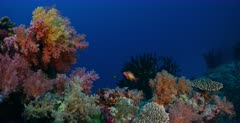A wide shot of a  Peach Anthias fish, Pseudanthias dispar surrounded by very pretty yellow,peach,pink and cream soft coral,Dendronephthya sp