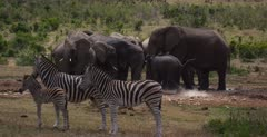 A teenage, boisterous, male,  African Elephant,Loxodonta africana,   runs into frame chasing the two Warthog, Phacochoerus aethiopicus and a herd of  Zebra,Equus quagga burchellii out of its path.