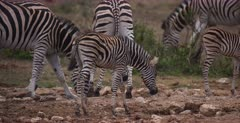 A close up shot of two Zebra, Equus quagga burchellii fighting, the one tries to bite the other, then a baby walks into frame and gets a fright.