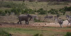 A teenage African Elephant, Loxodonta africana chases a herd of Zebra