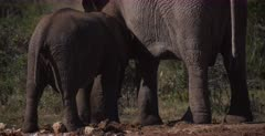 A close up shot of a Juvenile African Elephant, Loxodonta africana suckling on its moms teat