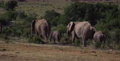 A herd of African Elephant, Loxodonta africana walk away from the camera while pooping.
