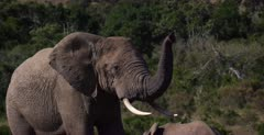 A close up shot of an African Elephant, Loxodonta africana sniffing the air with its trunk standing up.