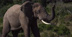 A close up shot of an African Elephant, Loxodonta africana sniffing the air with its trunk standing up, while peeing