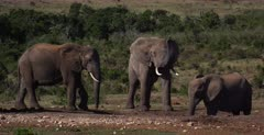A Wide shot of an African Elephant, Loxodonta africana sniffing the air with its trunk standing up, while two other ellephants drink at the waterhole.