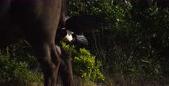 A Close up shot of a Pied Crow, Corvus albus eating ticks, off the inside leg, of an African buffalo,Cape buffalo, Syncerus caffer . It the flies off onto the ground and continues to eat the tick..