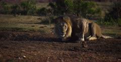 A Close up, side shot of a Black maned lion, Panthera leo melanochaita drinking water.