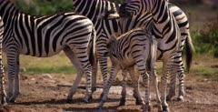 A juvenile Zebra, Equus quagga burchellii suckles on it mom.