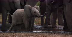 A baby African Elephant, Loxodonta africana reverses all the way back to its mom.