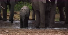 A baby African Elephant, Loxodonta africana struggling to drink water