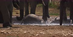 A close up of a baby African Elephant, Loxodonta africana sliding into a water hole and getting out.
