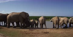 A wide shot of a male African Elephant, Loxodonta africana sniffing the females genitals to know if she is on heat.