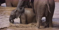 A baby African Elephant, Loxodonta africana nudged forward to swim in the muddy water under the protection of its family members.