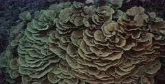 A Tracking wide shot over a large colony of healthy delicate Lettuce Coral,Montipora sp,Agaricia sp