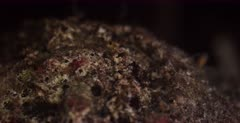 A macro shot of the mouth,opening and closingand expelling excess salt, of a Reef Stonefish,Synanceia verrucosa,