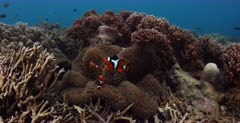 A close up, Lock shot of  three Clown Anemonefish,clown fish, Amphiprion percula on a cream coloured anemone