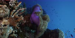 A Vertical, Lock shot with a Pink Anemonefish, Amphiprion perideraion on a purple Magnificent Sea Anemone, Heteractis magnifica  with schools of fish swimming.