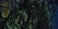 A vertical pan shot across a large colony of yellow scroll coral,Cabbage coral, Turbinaria reniformis with lots of reef fish . Note the endless hard coral reef.