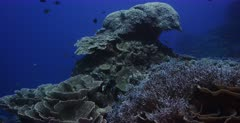 A wide pan across a healthy reef from a huge Brain Coral, Symphyllia agaricia to endless diverse hard corals