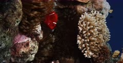 A vertical,close up ,Lock shot of a Spinecheek anemonefish,Maroon Clownfish, Premnas biaculeatus in its orange tipped anemone.