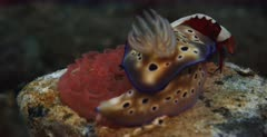 A close up shot of a, yellow with purple dots, Goniobranchus kuniei nudibranch laying eggs in a rosette while an Emperor Shrimp, Periclimenes imperato sits on it.