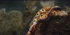 A close up side view shot of a, yellow with purple dots, Goniobranchus kuniei nudibranch with an Emperor Shrimp, Periclimenes imperato  in a symbiotic relationship