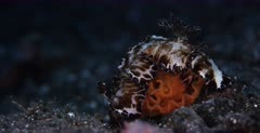 A close up shot of a Flatworm Discodoris, Discodoris boholiensis laying eggs into a rosette formation