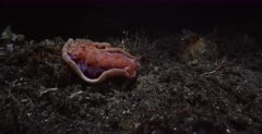 A medium wide shot of a Spanish Dancer nudibranch, Hexabranchus sanguineus hunting for food at night.