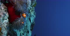 A stunning vertical,lock shot of  three False clown Anemonefish,Clownfish, Amphiprion ocellaris on a red Magnificent Sea Anemone, Heteractis magnifica