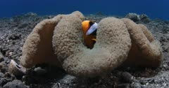 A close up of Clark's Anemonefish on a Giant Carpet Anemone, Amphiprion clarkii on Stichodactyla gigantea
