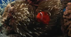 A close up of a stunning large female Spinecheek anemonefish,Maroon Clownfish, Premnas biaculeatus and its partnered small male in an anemone acting very protective.