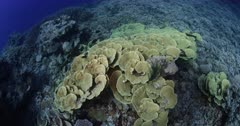 A wide shot of a large colony Cabbage coral,Turbinaria reniformis with Damsel and other reef fish swimming over it.