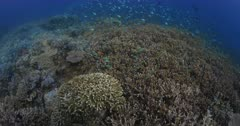 A tracking wide shot over a healthy coral reef covered in hard corals and swarming with colourful reef fish. The shot finishes on a large Lobe Coral, Porites lobata
