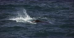 A close up of a Juvenile Southern Right Whale, Eubalaena australis lobtailing, flapping its tail on the seas surface.
