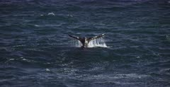 A close up of a Southern Right Whale, Eubalaena australis lobtailing, flapping its tail on the seas surface.
