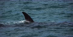 A tracking shot of a mom and juvenile Southern Right Whale, Eubalaena australis lolling around in the water.