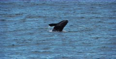 A Juvenile Southern Right Whale, Eubalaena australis breaches out of the water.