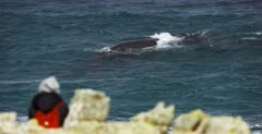 A Close up shot of a  tourist watching a Southern Right Whale, Eubalaena australis very close to land.
