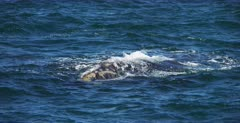 A close up shot of a Juvenile Southern Right Whale, Eubalaena australis resting its head on moms back.