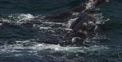 A close up, tracking shot of a mom Southern Right Whale, Eubalaena australis and its juvenile moving in the water and breathing through their Blow hole nostrils.