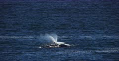 A wide shot of two groups of Southern Right Whale, Eubalaena australis in the ocean. One breathes out of its blow hole, nostril