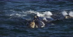 A close up shot of a mom Southern Right Whale, Eubalaena australis and her juvenile that face the camera and come up to breathe, blowing vapour out of their blowhole,nostrils