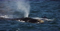 A close up shot of a juvenile Southern Right Whale, Eubalaena australis swimming on its back, revealing its pectoral fins while mom breathes out vapour from its blow hole.