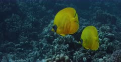 A tracking, close up shot of a pair of yellow, blue-cheeked butterflyfish, Chaetodon semilarvatus